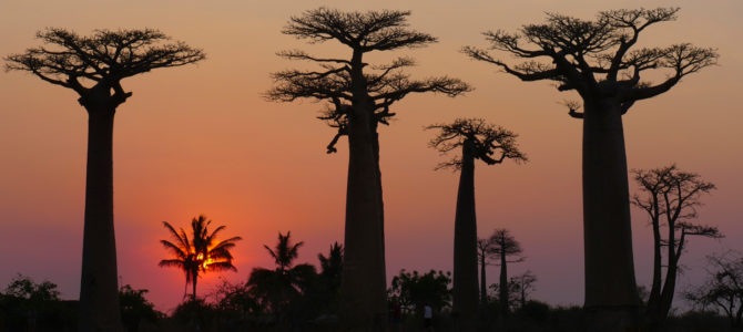 The Baobab:  The Mighty Tree of Life Facing Certain Death?